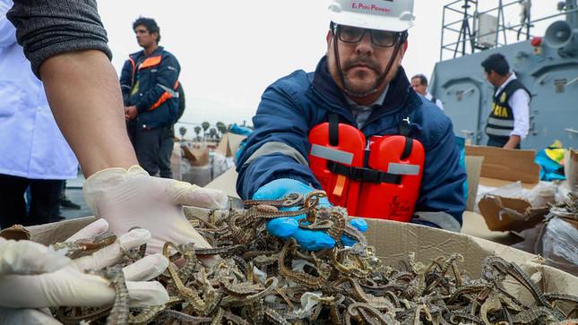 PRODUCE decomisa más de 12.3 millones de caballitos de mar extraídos ilegalmente en el mar del Callao